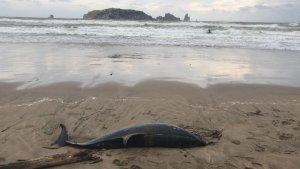 Imatge del dofí aparegut mort a l'Estartit
