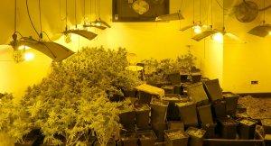 Imatge d'una de les plantacions de marihuana a Terrassa.