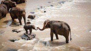 Una família d'elefants en un riu de la Índia
