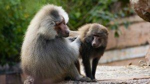 Assaig amb babuins per al transplantament a humans de cors de porc