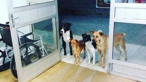 Imatge dels 4 gossos esperant el seu amo a les portes de l'hospital brasiler