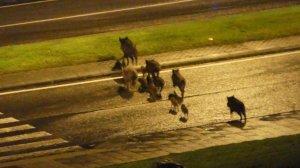 Una família de porcs senglars creuant un carrer