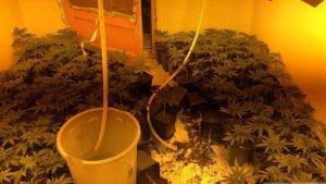 Desmantellen un punt de cultiu de marihuana amb més de 800 plantes a Figueres