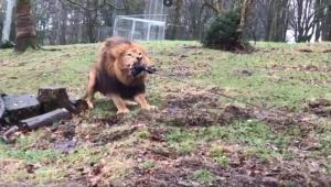 Imatge del joc d'estirar la corda amb lleons
