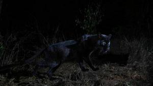 Una de les imatges del lleopard negre trobat