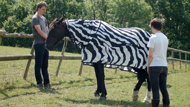 Imatge d'un dels cavalls disfressats de zebra