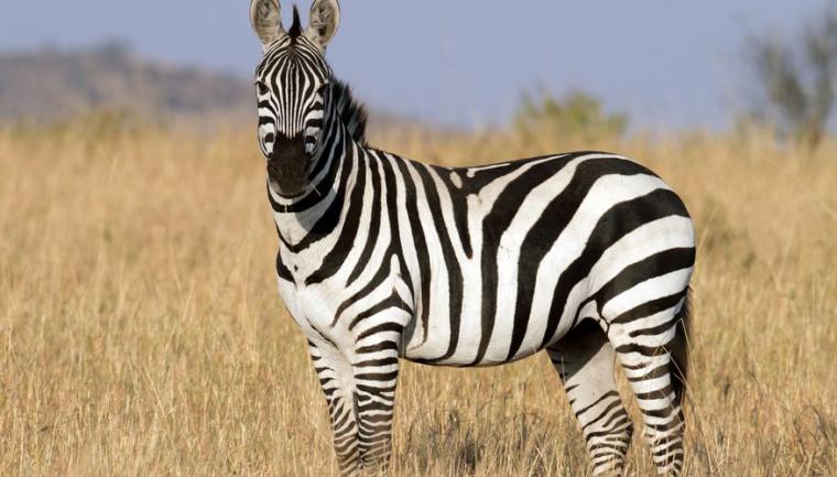 Imatge d'una zebra a l'Àfrica