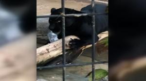 Imatge del jaguar jugant amb una ampolla de plàstic després d'atacar a la dona