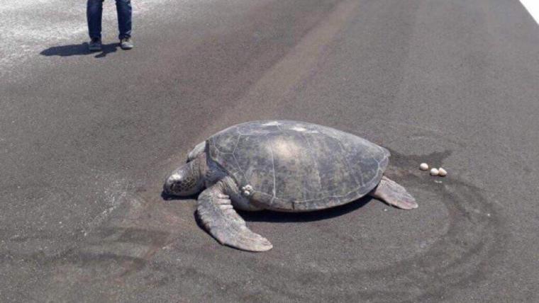 Imatge de la tortuga que ha niat en una pista d'aterratge