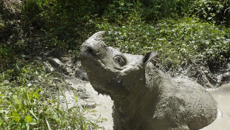 El rinoceront Tam jugant al fang, el 2014