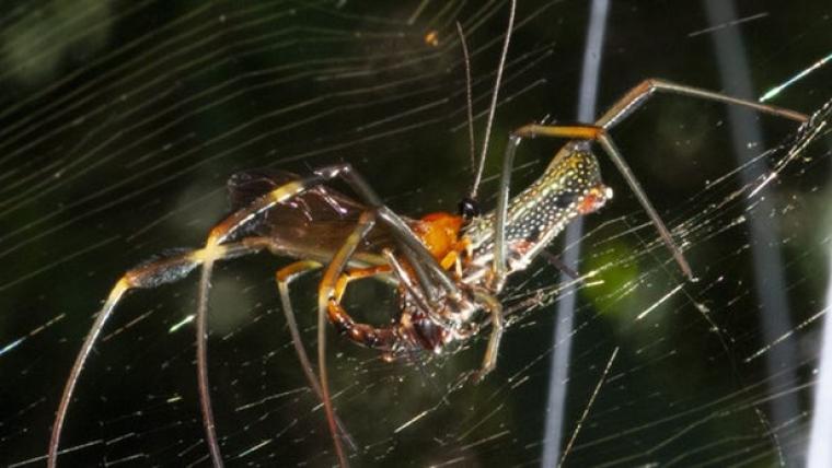 Les aranyes transporten les larves de les vespes