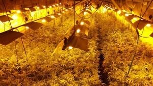 Detingut per cultivar més de 1.000 plantes de marihuana i provocar talls de llum als veïns a l'Anoia