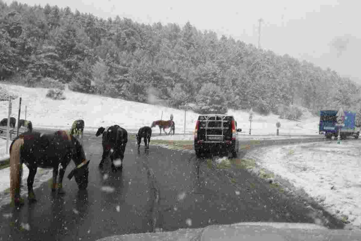 Imatge de la Collada de Toses nevada amb els cavalls al mig de la carretera