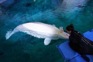 Espirometria a una beluga