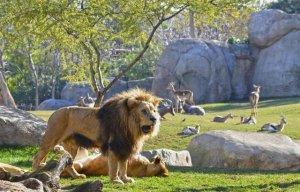 Imatge d'un dels lleons del Bioparc