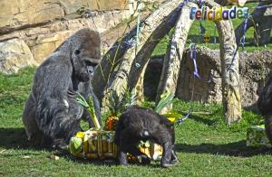 Els goril·les celebren l'11é Aniversari del BIOPARC