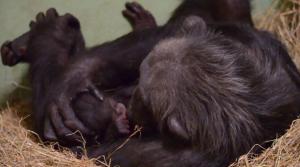 Imatge de la mare ximpanzé amb un dels bessons
