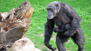 Els bessons de ximpanzé amb sa mare al Bioparc