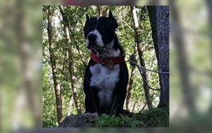 Imatge de l'american pitbull Tyson