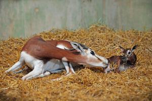 Imatge de la mare netejant la seua cria després del naixement