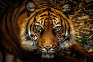 Those born under the Tiger sign are passionate, adventurous and fun | Magic Horoscope