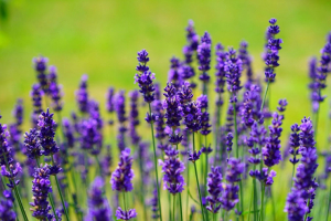 Find out the benefits and magical properties of lavender.