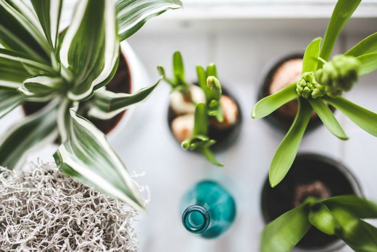 Curiosities about the money plant