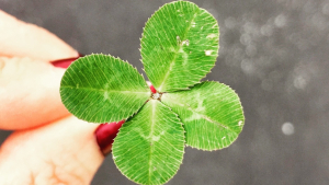 The four leaf clover is one of the most common good luck symbols - the leaves represent hope, faith, love and luck.