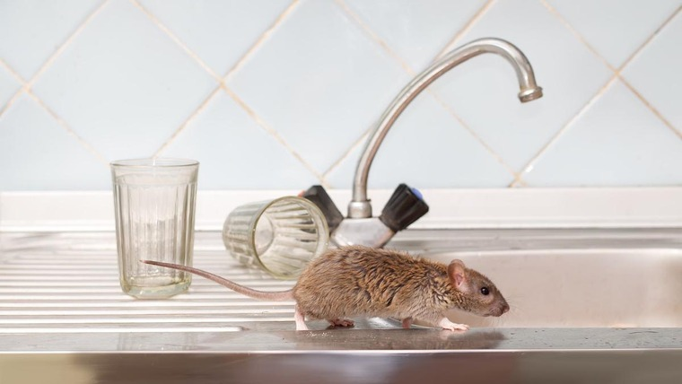 mouse in the kitchen