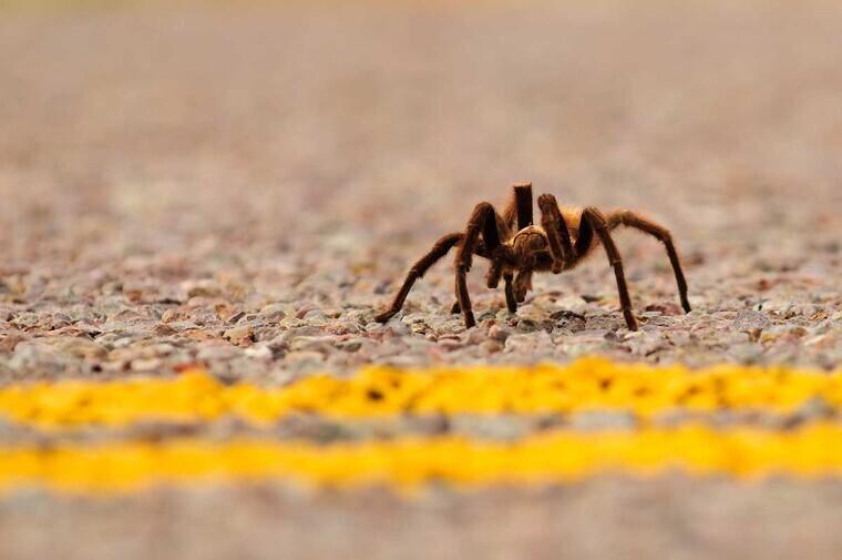 Tarantula on the ground