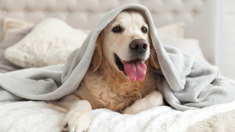 A Golden Retriever dog on a bed covered with a blanket