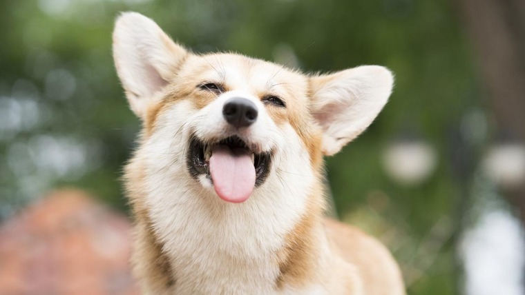 A Corgi with its tongue out