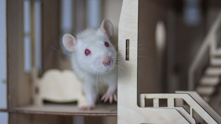 A Rat in a wooden place