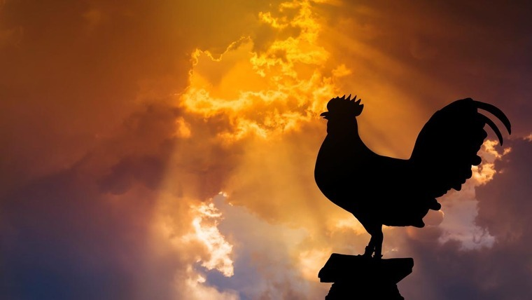 A rooster in the morning