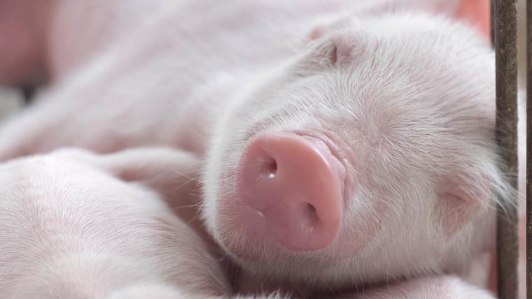 A pig sleeping