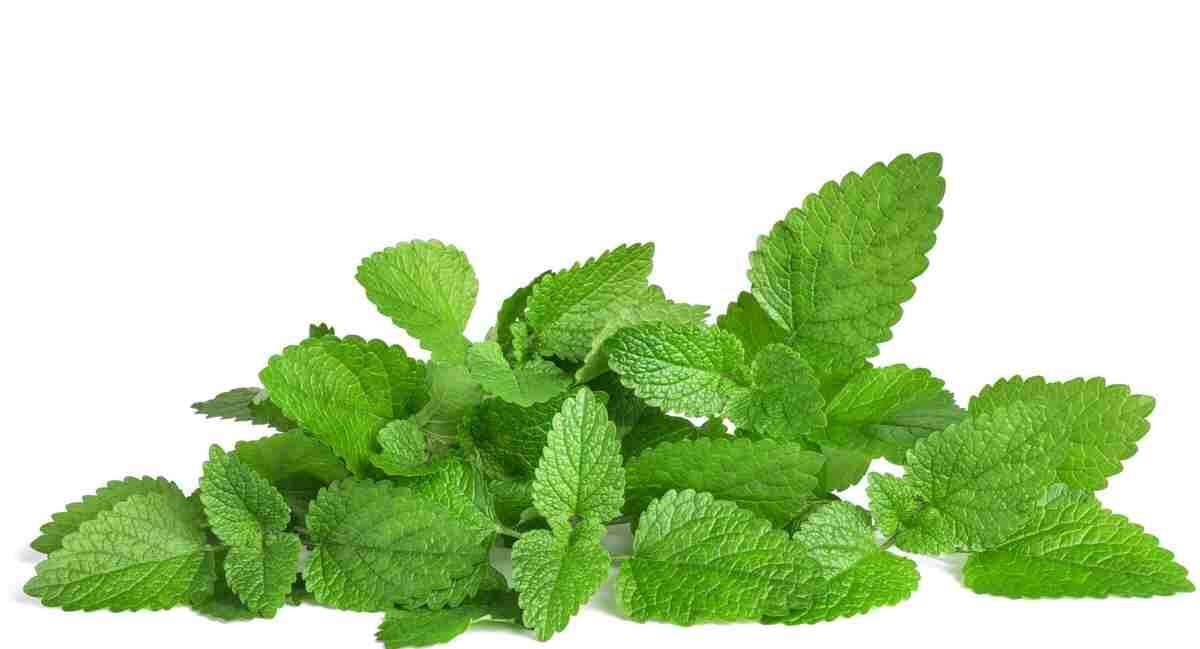 ✅ Mint: Benefits of this Magic Plant
