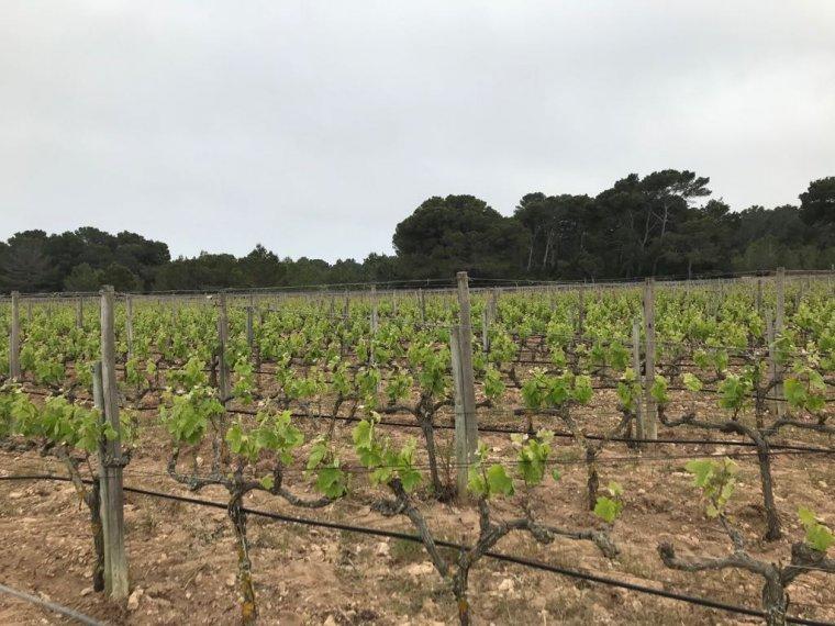 Vinyes de Cap de Barbaria