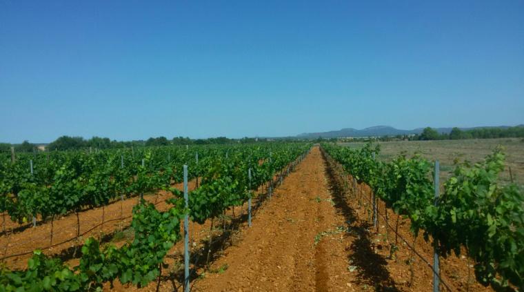 Vinyes de Es Gallicant