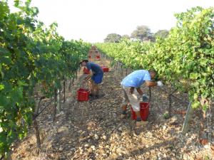 Fa falta mà d'obra formada a la vinya i al celler