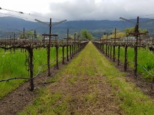 La vinya és un dels cultius estrella de Napa Valley on vigilen la propagació de la xylella