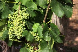 El llevat inicia el procés de transformació dels sucres del most en alcohol