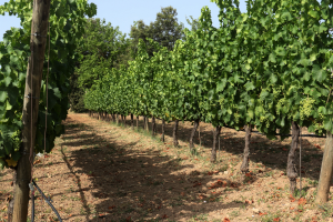 Si no es comencen a aplicar mesures que n'amorteixin l'impacte, el canvi climàtic afectarà el cultiu de la vinya a ca nostra