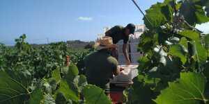 Són dies de feina a la vinya, a Torralbenc