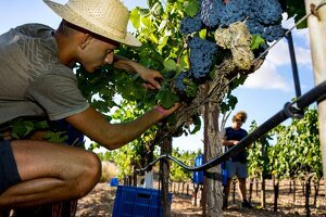 L'autor visità les vinyes de Miquel Gelabert