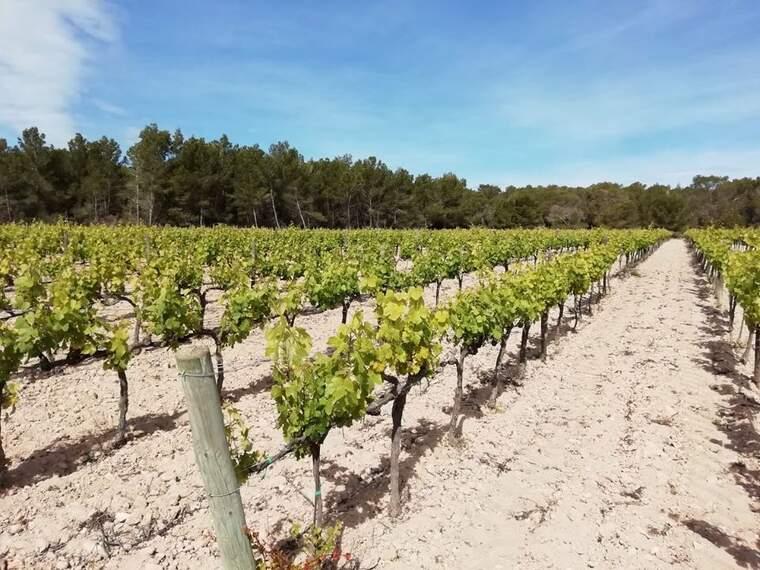 Vinya ecològica de les Balears