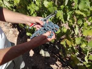 La verema a Cap de Barbaria un dels cellers de Formentera