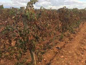 Les vinyes de Can Majoral