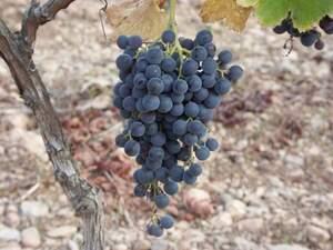 Ara ja està autoritzat fer vi amb la callet negrella