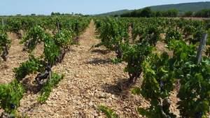 La vinya a Santa Maria