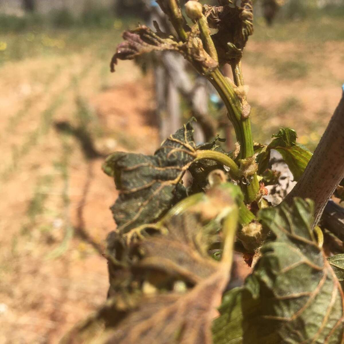 Gelada a les vinyes de Can Majoral